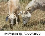 Small photo of Mother and baby kid kiko goats grazing together side by side as part of weed control and wildfire abatement program
