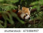 red panda | Shutterstock . vector #673386907