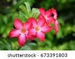 Small photo of Adenium flower. Adenium multiflorum. Desert Rose.