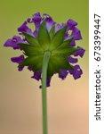 Small photo of rear of a violet flower ,dispsacacea,labiate,mentha aquatica,scabioso