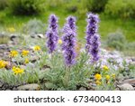 Small photo of Phacelia sericea, the silky phacelia or blue alpine phacelia in Lamar valley, Yellowstone National Park, also called Purple-fringe