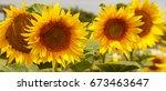 bright yellow  orange sunflower ... | Shutterstock . vector #673463647