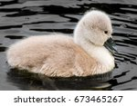 Cygnet Isolated In Water