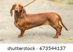 Stock photo dachshund dog 673544137