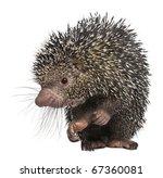Brazilian Porcupine  Coendou...