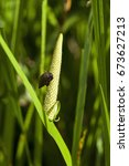 Small photo of Acorus calamus - also called sweet flag or calamus.