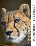 Small photo of Extreme close up portrait of cheetah (Acinonyx jubatus) looking at camera, low angle view