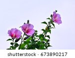 Small photo of the beautiful rose of Sharon, althaea