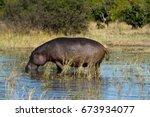 hippos in the okavango delta in ... | Shutterstock . vector #673934077