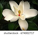 Small photo of Magnolia Flower Close-Up