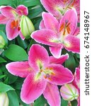 Beautiful Pink Lily Flowers In...