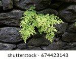 green leaves of maidenhair fern ... | Shutterstock . vector #674423143