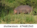 scratched hippo  nairobi... | Shutterstock . vector #674681563