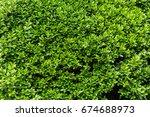 green vibrant boxwood bush... | Shutterstock . vector #674688973