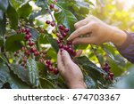 coffee farmer hand selecting... | Shutterstock . vector #674703367