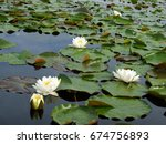 Small photo of Flowers and leaves of the white water-lily (Nymphaea alba )