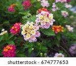 pink lantana flowers phakakrong ... | Shutterstock . vector #674777653