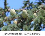 Small photo of The buds on the branches of Abies grandis