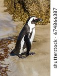 Small photo of An African Penguin