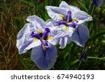 Purple Iris Add Beauty To The...