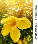 Small photo of Blossom Allamanda cathartica. Yellow. The morning light receiving light gold.background