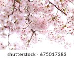 beautiful cherry blossoms in... | Shutterstock . vector #675017383