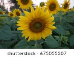 close up of yellow sunflower in ... | Shutterstock . vector #675055207