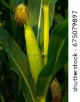 a single corn cob growing in a... | Shutterstock . vector #675079897