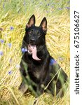 Small photo of Portrait of a beautiful german shepherd or alsatian dog in the field