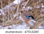 Jay on snowy branch - stock photo