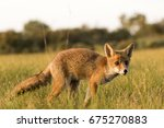 young red fox standing on the... | Shutterstock . vector #675270883