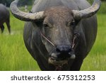 Small photo of The buffalo is a 4-foot animal, feeding in the wild. Have long self defense Usually farmed for agricultural purposes.