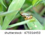 japanese tree frog   hyla...   Shutterstock . vector #675316453