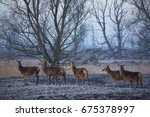 Herd Of Red Deer  Cervus...