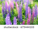 lupinus  lupin  lupine field... | Shutterstock . vector #675444103