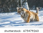 siberian tiger in the snow ... | Shutterstock . vector #675479263
