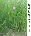dactylorhiza majalis western... | Shutterstock . vector #675554647