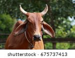 thai cow in the stable | Shutterstock . vector #675737413