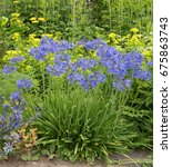 Small photo of Agapanthus (African Lily) in the Hidden Garden at Plas Cadnant in Menai Bridge on the Isle of Anglesey, Wales, UK