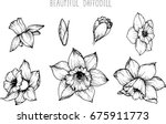 daffodil flowers drawing... | Shutterstock .eps vector #675911773
