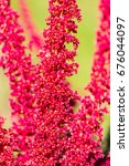 Small photo of amaranth - amaranthus hypochondriacus - botanical beckgrounds