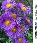 close up photos daisy purple... | Shutterstock . vector #676062703