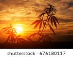 Marijuana  Cannabis  Plants...