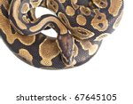 Royal Python, or Ball Python (Python regius), in studio against a white background. - stock photo