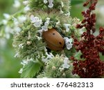 Large Grape Vine Beetle...
