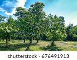 Flowering Tree Catalpa...