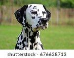 Dalmatian portrait in the garden