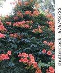 orange ivy  flower  campsis... | Shutterstock . vector #676743733