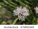 "Small photo of ""Drummond's Onion"" flowers (or Wild Garlic, Prairie Onion) in St. Gallen, Switzerland. Its Latin name is Allium Drummondii (Syn Allium Nuttallii), native to northern Mexico and USA."