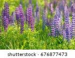 lupinus  lupin  lupine field... | Shutterstock . vector #676877473